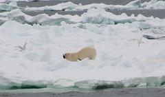 Polar bear and Ivory gulls (carina.ericsson) Tags: snow ice water svalbard polarbear isms ivorygull isbjrn hinlopen