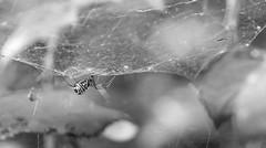 Spiders net (wigerl) Tags: light blackandwhite bw net monochrome austria licht spider sterreich europa europe fuji foto krnten carinthia spinne netz tiffen feldkirchen fujixt1 fujixc18135mm
