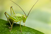 Baby Bush Cricket (.mushi_king) Tags: macro canon garden insect cricket nocrop katydid mpe65 bushcricket