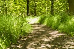 Woodland Path (John__Hull) Tags: wood sunlight nature grass 35mm woodland spring nikon path leicester ferns dappled polariser d3200 martinshaw ratby