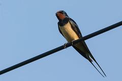 ...eine Schwalbe macht noch keinen Sommer (w-venne) Tags: sky bird wire himmel barnswallow hirundorustica songbird draht singvogel