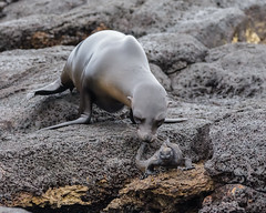 get off my lawn! (v_ac_md) Tags: galapagossealion marineiguana galpagosislands ecuador ec