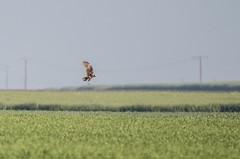 Busard des roseaux (loudz57220) Tags: bird nature animals canon wildlife raptor tamron oiseau rapace westernmarshharrier circusaeruginosus 70d busarddesroseaux 150600