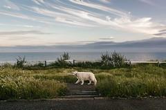 #3 Slowly walking white fur (Agata Winiarska) Tags: uk sea england sky dog green grass walk dorset bournemouth greet dyplamka