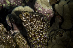 white mouthed moray eel (b.campbell65) Tags: kona animal background beautiful big blue coral coralheads dive diving fish hawaii island isolated marine morayeel natural nature ocean pacific reef scuba sea seascape travel tropical underwater water wild wildlife