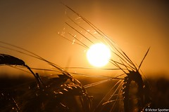 Sunset over field (Viictor B) Tags: flowers sunset sky woman sun flower love nature beautiful field sunshine silhouette sunrise canon wonderful hair landscape photography twilight women photographie view live gorgeous awesome details country moment capture