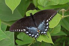 Spicebush Swallowtail (mishko2007) Tags: papiliotroilus spicebushswallowtail franklincountyvirginia 105mmf28