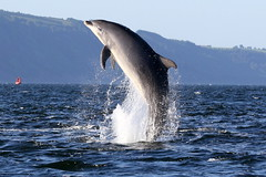 Bottlenose Dolphin - Moray Firth (Ally.Kemp) Tags: wild point scotland jumping dolphin free scottish dolphins leaping breaching moray firth chanonry