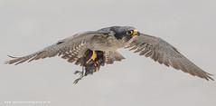 Peregrine falcon (ian hufton photography) Tags: bird kent wildlife birdofprey peregrinefalcon ianhufton