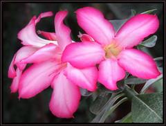 Adenium obesum / Wstenrose (Martin Volpert) Tags: flower fleur flor pflanze blomma apocynaceae blume fiore blte blomster virg lore bloem blm iek floro kwiat flos ciuri kvet kukka adeniumobesum cvijet flouer blth cvet zieds is floare blome iedas wstenrose mavo43