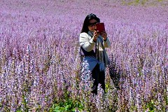 selfie dans les champs en fleurs France sauge sclare_1316 (ichauvel) Tags: femme woman photo selfie portrait champs de lupins field flowers beaut la nature beauty couleurs colours france plateau valansole alpesdehautesprovence suddelafrance south europe western voyage travel tourisme tourism touriste tourist juin june paysage landscape violet mauve purple lumire jour day exterieur outside outdoor se prendre en autoportrait fleurs floraison bloom sauge sclare sage