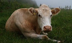 Lazy cow (Ollie_57.. on/off) Tags: uk nature field grass animal june closeup fauna canon cow spring flora cattle ngc devon 7d 2016 shaldon ef24105mm labradorbay ollie57 saariysqualitypictures affinityphoto