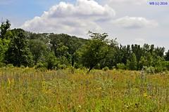 DSC_0217n wb (bwagnerfoto) Tags: trees plants nature landscape nationalpark flora outdoor blume landschaft virg tjkp lobau donauauen legel weideplatz