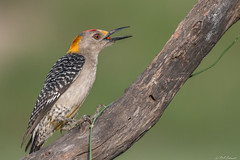 Golden-fronted Woodpecker (Ruthie Kansas) Tags: