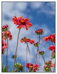 blanket flower (imageseekertoo (Wendy Elliott)) Tags: flowers flower vertical orangeflower blanketflower floweragainstthesky wendyelliott verticleflower wendyelliottphotographs wendyelliottphotography lookingupataflower