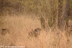 Wild Boar (Robbert met dubbel B) Tags: park wild india nature wilde wildlife indian reserve safari national april 29 boar 29th zwijn 2016 tigerreserve nationaal zwijnen tadoba andhari