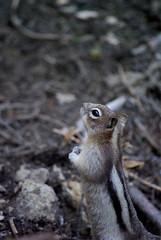 Chipmunk (Jori209) Tags: canada rockies mammal wildlife canyon chipmunk alberta banff rockymountains johnston banffnationalpark johnstoncanyon