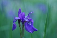 Iris (Patrice StG) Tags: flower fleur bokeh gimp québec ks2 pentaxm50mm14 pentaxart