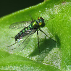 a big name for a tiny creature (mimbrava) Tags: green insect mimbrava tiny arr allrightsreserved raynoxdcr250 genuscondylostylus mimbravastudio mimeisenberg