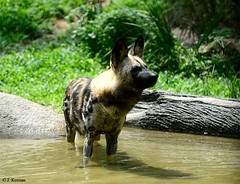 African Painted Dog - Lycaon pictus (HGHjim) Tags: african lycaon lycaonpictus africanpainteddog pictus painteddog