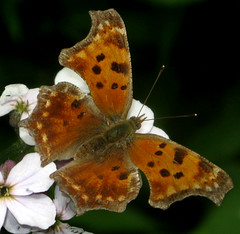 Eastern Comma (adamantine) Tags: maine comma buttefly nymphalidae easterncomma polygoniacomma nymphalinae nymphalini