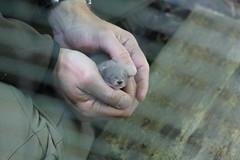 IMG_4978 (Mercar) Tags: european mink hiiumaa lko euroopa mustela naarits lutreola