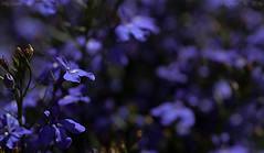 Low key (Ollie_57.. on/off) Tags: bloom flora flower purple petals plant dof nature macro bokeh hbw tamronsp90mm canon 7d summer july 2016 teignmouth devon england uk affinityphoto ollie57 lobelia