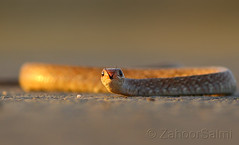 Keelback Snake (Zahoor-Salmi) Tags: camera pakistan 2 macro nature birds animals canon lens photo tv google flickr natural action mark wildlife watch bbc 7d punjab discovery wwf salmi walpapers chanals beutty bhalwal zahoorsalmi