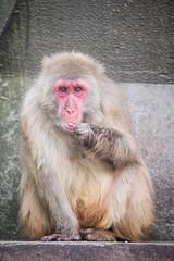 2016-07-06-10h45m37.BL7R4932 (A.J. Haverkamp) Tags: canonef100400mmf4556lisiiusmlens amsterdam zoo dierentuin httpwwwartisnl artis thenetherlands japansemakaak japanesemacaque