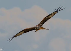 Red Kite (rogerbo69) Tags: animals wildlife natur vogel byrd wildtier wwwfacebookcomsvofoto