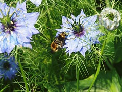 A whole lot of buzzing ...  Explore (Tricia in Kent UK ....) Tags: flowers garden nigella loveinamist buzzing awholelotofbuzzing