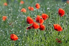 A la faveur d'une timide claircie (Excalibur67) Tags: flowers red fleurs rouge nikon poppies tamron coquelicots pavots d7100 sp70300divcusd