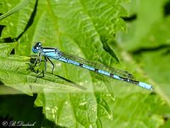 Blaue Federlibelle (Fotoamsel) Tags: deutschland tiere natur wiese insekten niedersachsen badharzburg blauefederlibelle