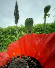 Wide in the Garden (wheehamx) Tags: flower colour macro garden angle ninja wide pinhole