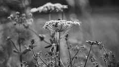 umbelliferae (HHH Honey) Tags: summer bw blackwhite wildflowers wiltshire salisburyplain umbellifer umbelliferae macrofilterlens4 sonya7rii sigma28mmminiwidemacrolens