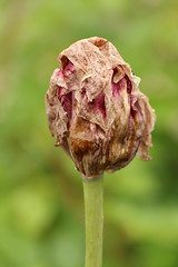 Dead Before Time (gripspix (OFF)) Tags: 20160605 nature natur plant pflanze blte blossom tulpe tulip decay zerfall