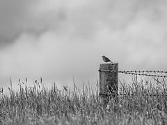 Skylark alone (IvorPhotography) Tags: bird fence wire post perch barbed skylark monchrome