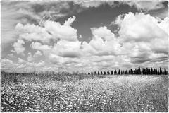 Toscana (Roberto Spagnoli) Tags: flowers blackandwhite italy clouds landscape nuvole tuscany cypress fiori toscana paesaggio biancoenero cipresso
