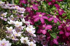 Klematis (Clematis) (blumenbiene) Tags: flowers flower leather garden clematis vine vase creeper blte garten waldrebe blten kletterpflanze klematis