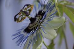 IMG_9320 (worldmix) Tags: passiflora passionsblume caerulea blaue