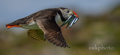 Puffin in flight (swkphoto) Tags: princess harbour may puffin seals isle tern anstruther shags razorbill guillomot