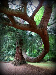 Limb with tree attached (1 of 2) (jimsawthat) Tags: uk rural forest scotland unitedkingdom sconepalace mysterytree