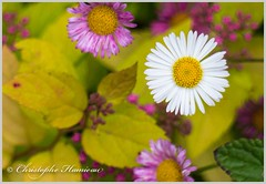 Blancheur radieuse (Christophe Hamieau) Tags: fleurs flowers macro macrophotographie macrophotography nature petals plante ptales stamens tamines
