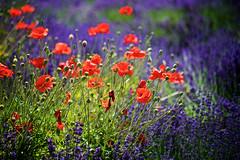 Summer Dance (chris.ph) Tags: flower light poppy lavender summer mtlehman tuscanfarmgardens red purple
