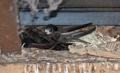 IMG_3493 (Helios Images) Tags: chicks brooding nesting swifts bbcspringwatch