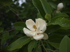 Magnolia (Bushman.K) Tags: flower tree leaf fragrant