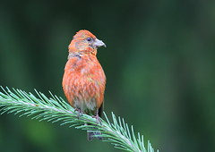 Red Crossbill (Martial2010) Tags: red crossbill qualicum beach vancouver island canada canon british columbia