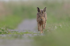 Brown Hare (neil smith2010) Tags: brown nature animal mammal hare wildlife running lincolnshire framptonmarsh