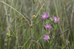 Carex extensa & Centaurium littorale (Rense Haveman) Tags: vlieland vliehors centauriumlittorale asteretea tripolii astereteatripolii carexextensa pentaxk5 rensehaveman caricetumextensae