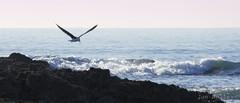 Glide (Joe Nelley) Tags: strand surf gull himmel reef  farnorth  welle vogel sonnenschein   canonef70300mmf456isusm salzwasser